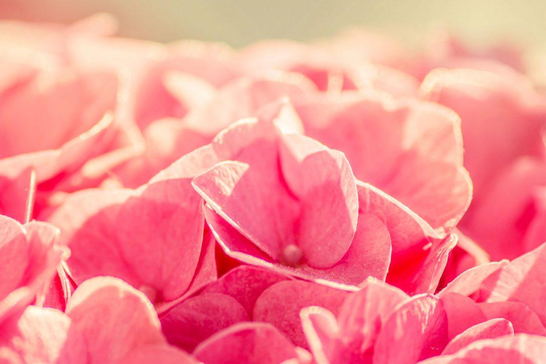 pink_flower_02
